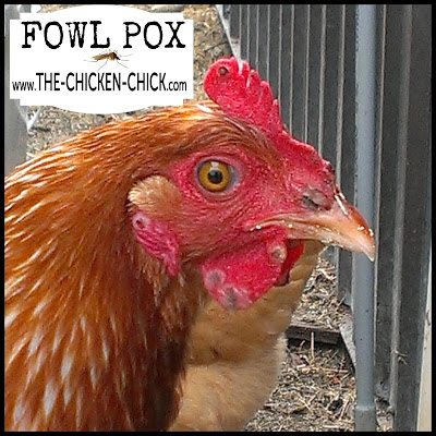 Dry Fowl Pox is a viral infection that affects a chicken's skin in non-feathered areas, most commonly, the comb, wattles, face and eyelids/