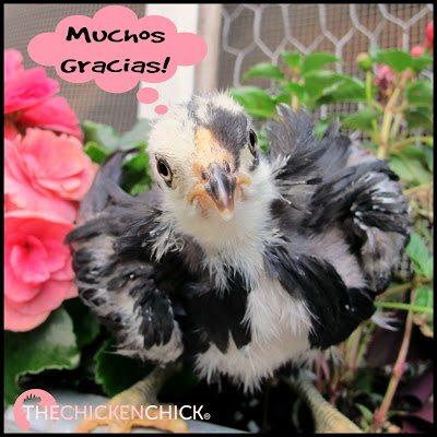 Muchos gracias! (Araucana chick)