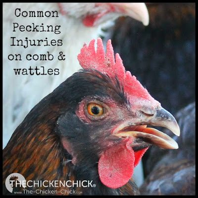 Don't confuse common pecking injuries on combs and wattles for Fowl Pox.