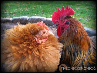 CHICKEN, backyard: a male or female bird of the genus Gallus, that is commonly raised in backyards for egg production, as pets and less commonly, for meat. A chick is a newly hatched chicken.