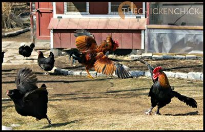 FLOG: term used to describe an attack by a chicken on a person or another chicken, most often perpetrated by an aggressive rooster, which may involve jumping onto a victim and/or beating it with its wings.