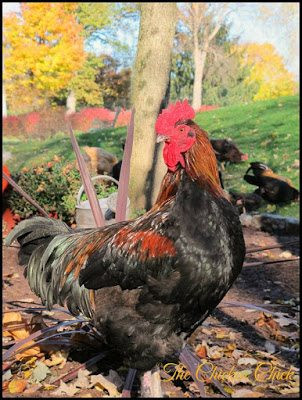 Roo: Slang for rooster