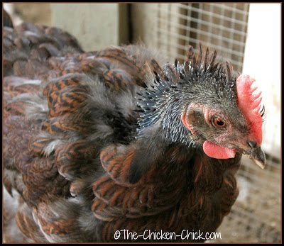 MOLT: the regular shedding and growth of new feathers.