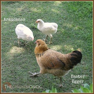 """""""AMERICANA"""": a marketing tactic for selling hybrid Easter Egg chickens with spelling deceptively similar to the Ameraucana breed name. EEs are not an APA recognized breed, they are a mix of different breeds with one parent carrying a blue egg-laying gene. EEs can lay a rainbow of egg colors, including: any hue of blue or brown or any combination of the two. Traits include pea combs and wattles that are either small or absent. usually possess greenish legs and beards with muffs. EEs are found in an infinite array of feather colors, which makes them a beautiful and unique hybrid chicken."""