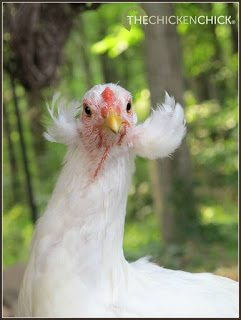 feathers growing from a flap of skin just below the ear of some Araucana chickens, which is inherited genetically. Chick inheriting the tufted gene from both parents will die prior to hatch.