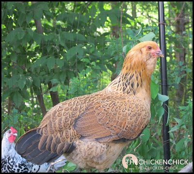 CROSS-BREED: a chicken whose parents were different breeds. aka: hybrid, mix. Easter Eggers are the most popular cross-breed.