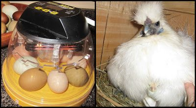INCUBATION: the process of hatch eggs naturally under a hen or with an incubator.