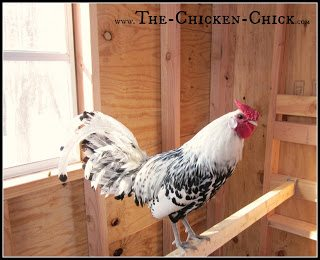 ROOST: a branch or board chickens stand on at night to sleep or while resting during the day.