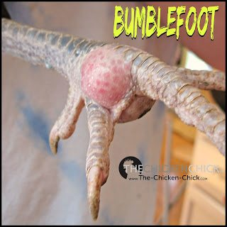BUMBLEFOOT: an infection on a chicken's foot characterized by swelling, sometimes redness and often a characteristic black or brown scab on the bottom of the foot. Left untreated, serious cases of bumble foot can be fatal as the infection can spread to other tissues and bones.