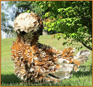 FRIZZLE: a genetically predetermined feather type that curls backwards and away from a chicken's body. Frizzled feathers can occur in a variety of breeds, most commonly, Cochins and Polish.