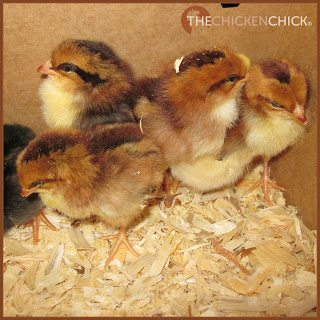 LITTER: the material placed on the floor of a chicken coop primarily to absorb moisture from droppings (typically sand, pine shavings or straw) aka: bedding.
