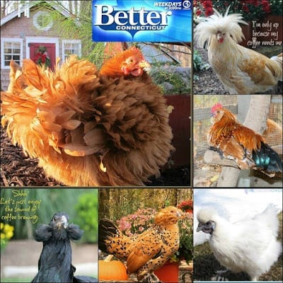 WFSB Channel 3 Better Connecticut television segment: The Dos and Don'ts of Chickens