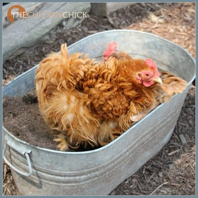 A dust bath is the chicken equivalent of a daily shower. Chickens dig shallow spots in dirt, sand, or even flower pots to work into their skin and feathers to aid in skin and feather maintenance and parasite control.