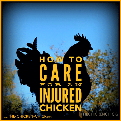 Tips for caring for an injured chicken can be found HERE.