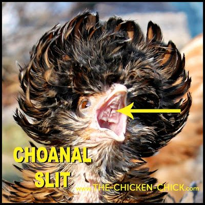 The roof of the chicken mouth/upper beak is split- that divide is called the choanal slit, which is normal. The choanal slit should be clear and unobstructed.