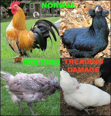A chicken's feathers should be shiny & lay flat against the body. They should not be broken, ruffled, bloody, frayed or tattered, which could indicate behavioral problems in the flock, stress, parasites, a nutrition deficit or rodent problems.