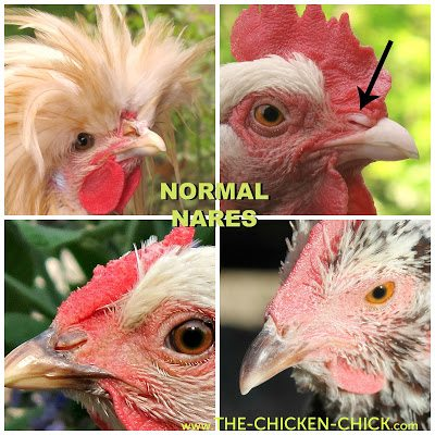 A chicken's nostrils are called nares. The nares should be clean and free from discharge or crustiness.