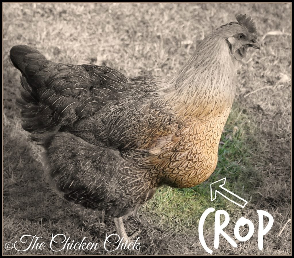 After a chicken has eaten, the crop feels swollen and slightly firm, but shrinks as food is digested. The crop should be empty first thing in the morning after a night of inactivity. A chicken's crop should not remain hard, squishy or fluid-filled.