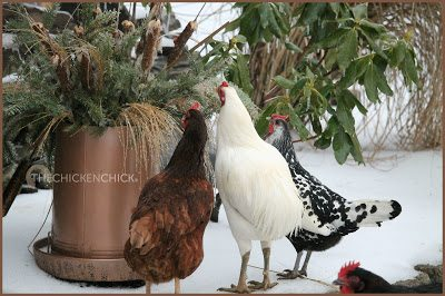 This chicken feeder was one of the pieces of equipment I inherited from my friend. I painted it with a hammered copper finish and filled with greens, ornamental grasses and cattails. Apparently the ice melting from the grasses was delicious.