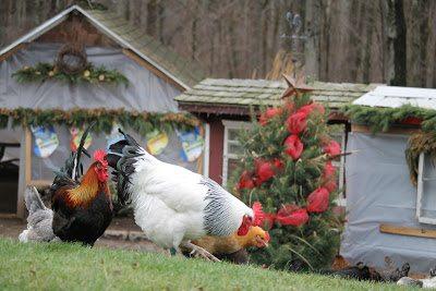 Chicken yard Christmas Tree.