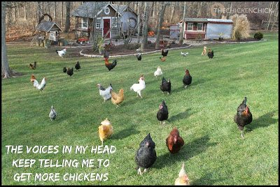The voices in my head keep telling me to get more chickens.