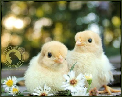 Chicks vs Pullets: Chicks are purchased within a few days after hatching and begin laying eggs in approximately 5-6 months. Pullets (aka: started birds) are female chickens someone else has raised that are close to, if not already, laying eggs.
