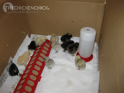 A chick brooder is an enclosure that serves as their home until they are ready to be moved to the coop.