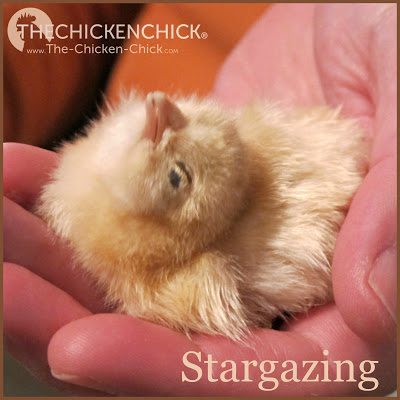 This is classic stargazing posture, which is a condition affecting a chick's nervous system, preventing them from eating and drinking normally.