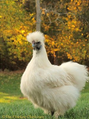 Some breeds, including Silkies, have extra toes that grow in funky directions, requiring periodic nail clipping.