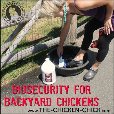 Biosecurity refers to an overall system for protecting chickens from infectious diseases. Each backyard chicken keeper will approach biosecurity differently based on personal risk tolerances, but even implementing the most basic biosecurity measures significantly limits potential health threats to a flock.