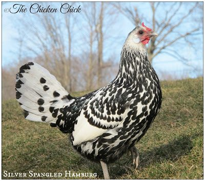 Silver Spangled Hamburg, ©The Chicken Chick®