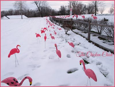 Pink flamingos were sold as a fundraiser and became the symbol for backyard chicken keeping solidarity all over the world.