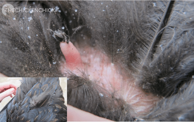 This is the preening gland, located at the base of the tail feathers. Oil in the gland is salty & hens will over-work the gland when deficient in certain nutrients.
