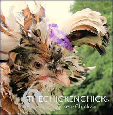 Tolbunt Polish hen with frizzled feathers www.The-Chicken-Chick.com