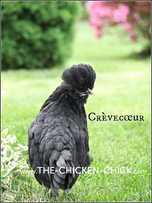 Crevecoeur pullet www.The-Chicken-Chick.com