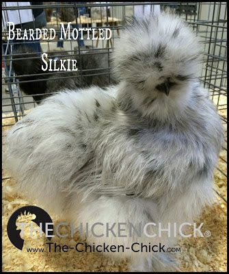 Silkie www.The-Chicken-Chick.com