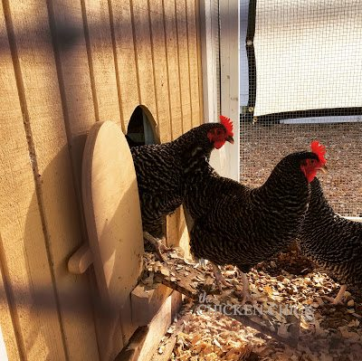 Barred Plymouth Rock hens at the Purina Animal Nutrition Center
