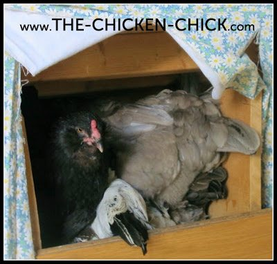 Why Nesting Material Matters | Some chicken keepers mistakenly believe that nesting boxes should provide a comfortable lounging areas for hens, but nesting material is not intended to provide a cozy sanctuary for hens to nestle into for the long-haul.