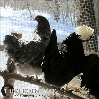 Broody behavior is unhealthy any time of the year, and in frigid temperatures when chickens must increase their feed and water intake to maintain body temperatures, broodiness is life-threatening.