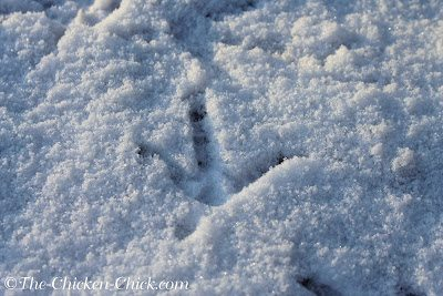 Chicken Footprint in Snow