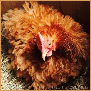 Rachel, a regularly broody hen.