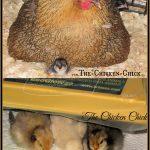 Mother hen versus Brinsea EcoGlow brooder