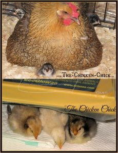 Mother hen versus Brinsea EcoGlow brooder