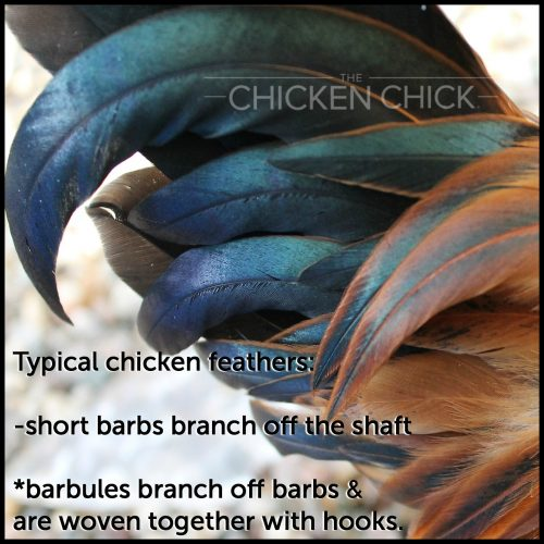 Typical chicken feathers