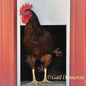 Gail Damerow's ChickenGuard pop door opener