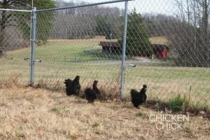 Silkies in chicken yard