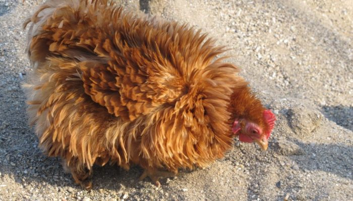 Sand: The Chicken Litter Superstar