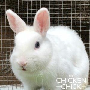 Clementine, Netherland Dwarf Rabbit