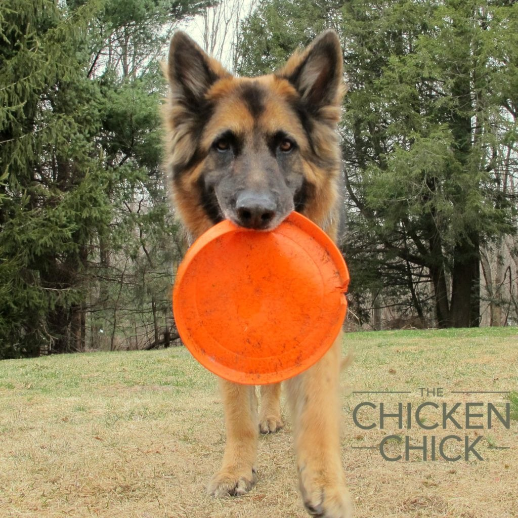 German Shepherd | The Chicken Chick®