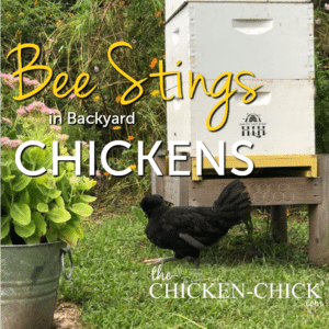 Bee stings in backyard chicknes